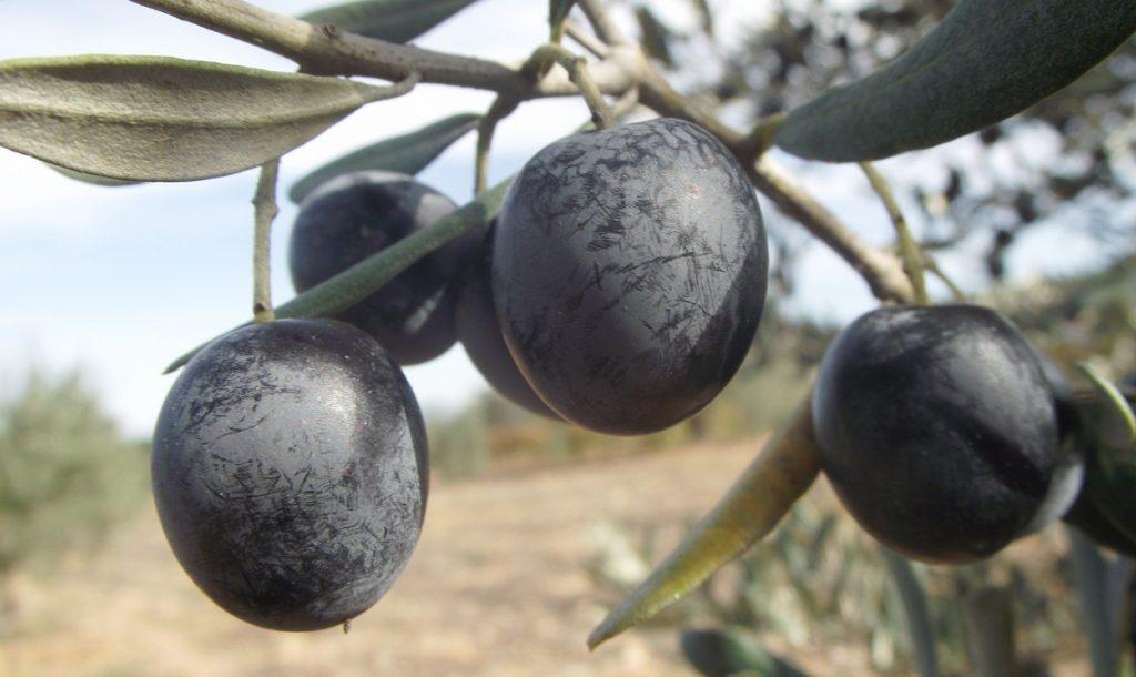 zeytin çeşitleri, gemlik zeytini, ayvalık zeytini, memecik zeytini, zeytin türleri