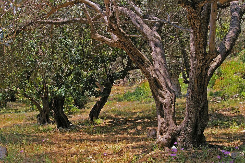 zeytin ağacının tarihi M.Ö. 4000 yılına dayanır.