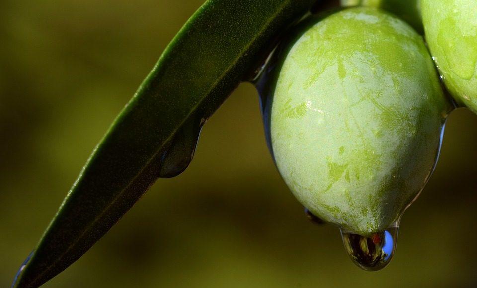 hasa dönemlerine göre sızma zeytinyağı, erken hasat, geç hasat