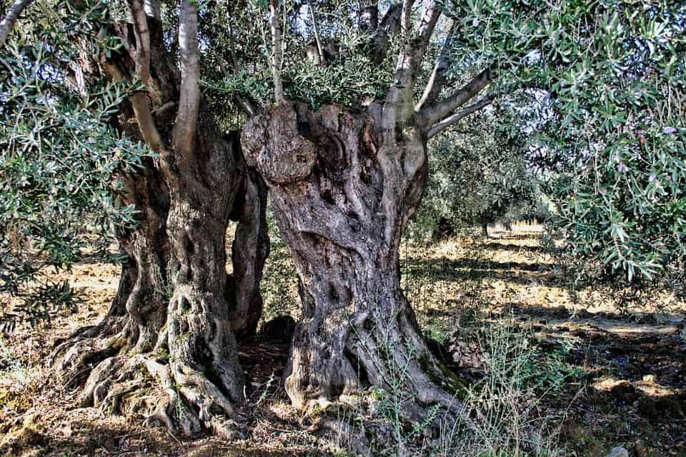 Zeytin ağacı Kuran'a da konu olmuştur.