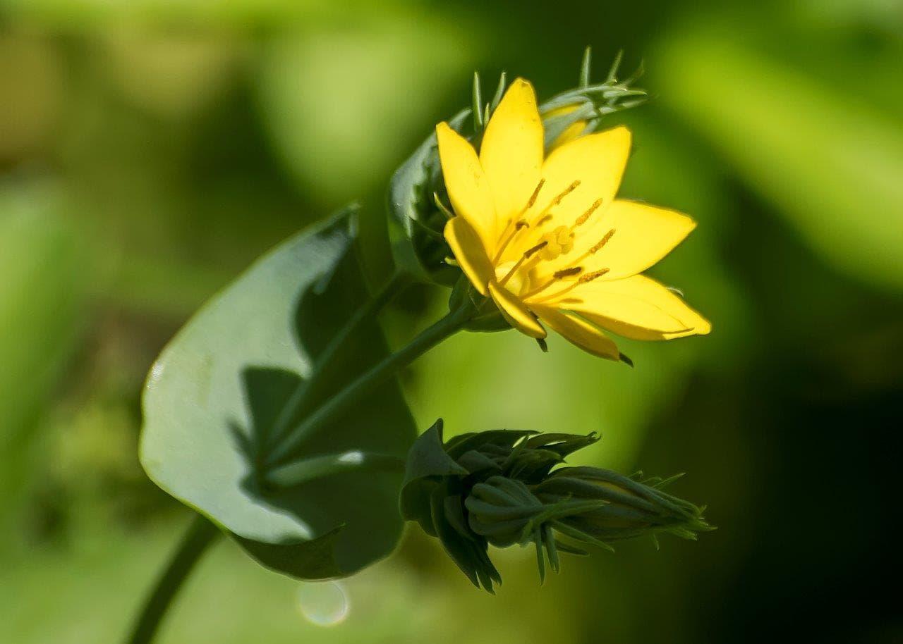 Kantaron yağının faydaları, sarı kantaron yağı, kantaron yağının cilde faydaları
